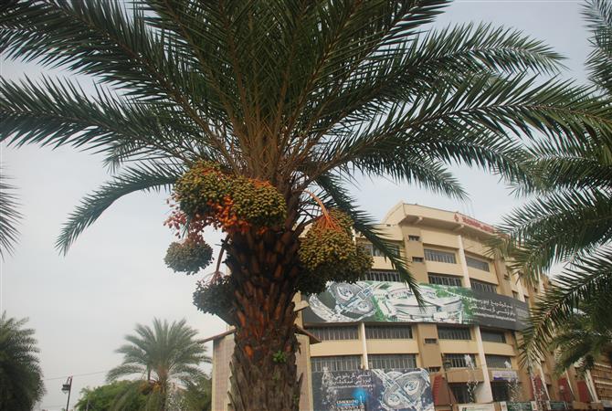 pokok kurma yang boleh menghasilkan buah di Kota Bharu