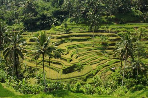Tegallalang Rice Terraces: The Postcard Image Of Bali, Indonesia