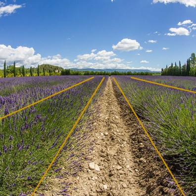 Lavender field in Provence, France. The lines gently lead our eyes all the way to the hills on the horizon.