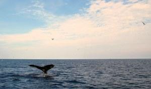 Whale-Newfoundland