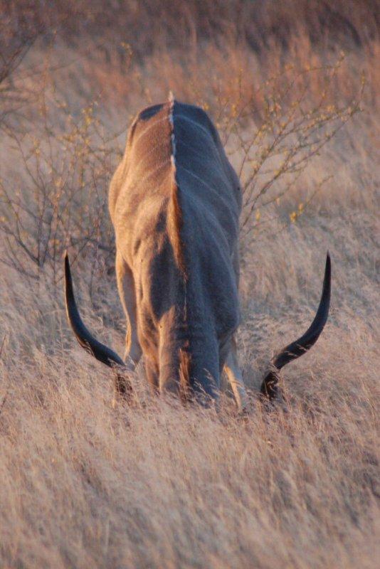 09-12 kudu eating tubers - explorationvacation