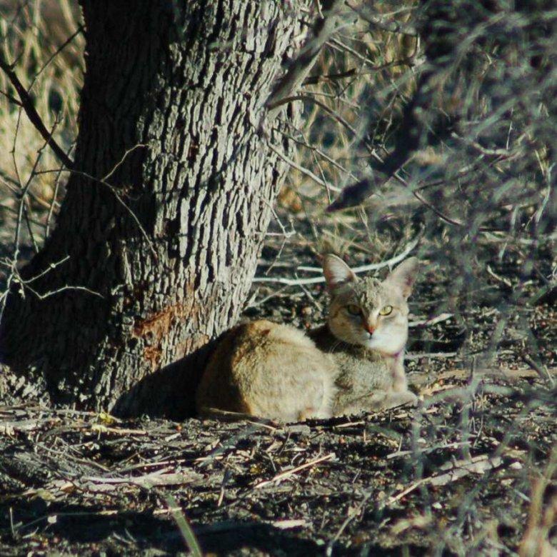 Botswana - ExplorationVacation - 09-13 wild cat