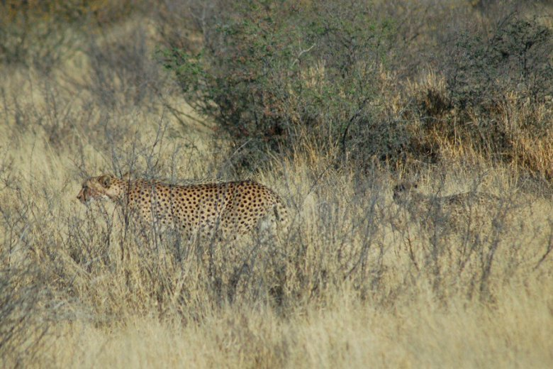 Botswana - ExplorationVacation - 09-13_00-53-36 cheetahs