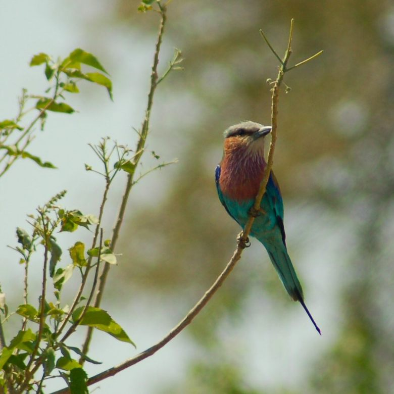 Botswana - ExplorationVacation - 09-21_03-21-38 lilac breasted roller