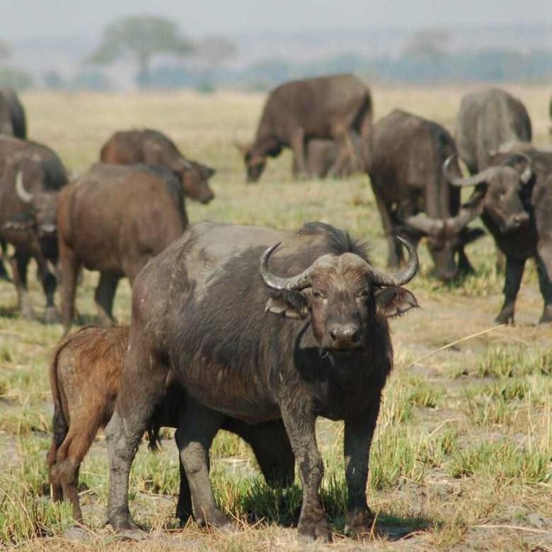 Botswana - ExplorationVacation 09-24_08-15-13 sq buffalo