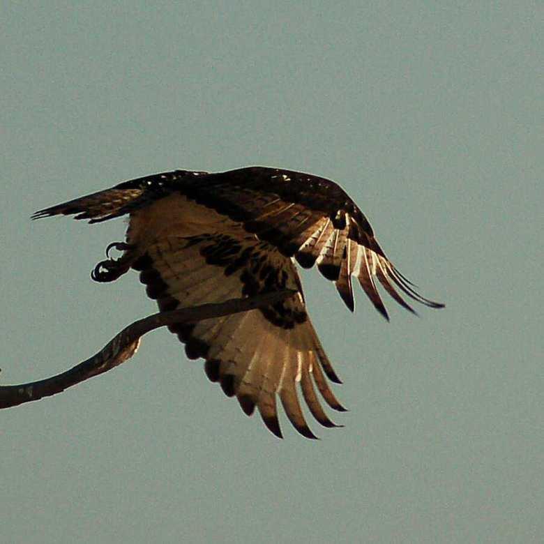 Botswana - ExplorationVacation - 2005-09-22_00-47-53 raptor