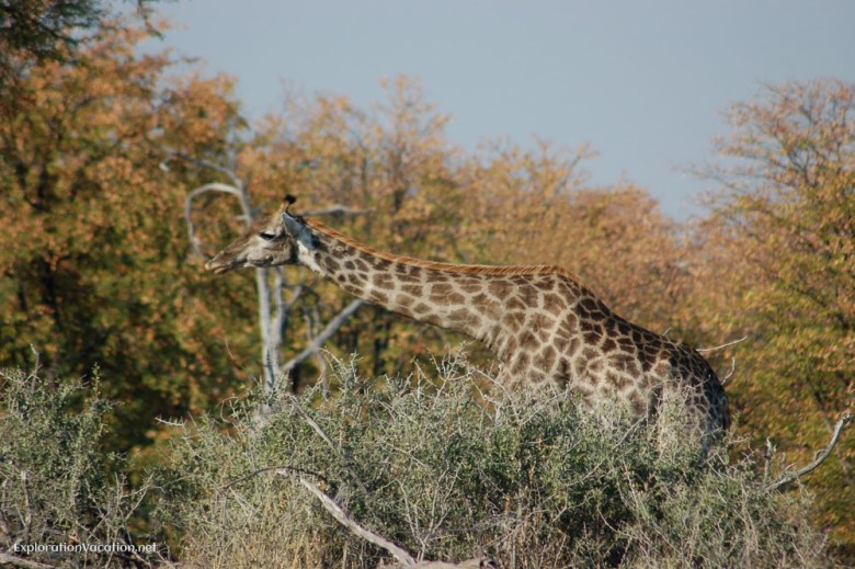 Giraffe Moremi Botswana - ExplorationVacation.net