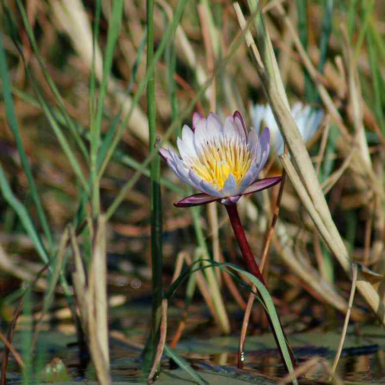 Botswana Okavango - ExplorationVacation - 09-18 pale waterlily