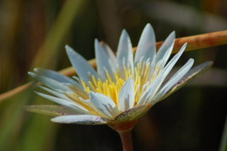 Botswana Okavango - ExplorationVacation - 09-18 waterlily close-up