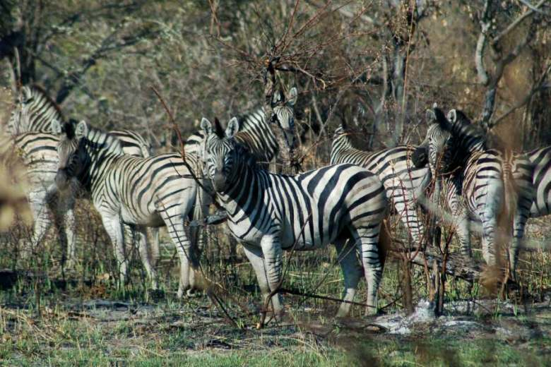 Zebra Botswana Okavango - ExplorationVacation - 09-18_ zebras on walking tour