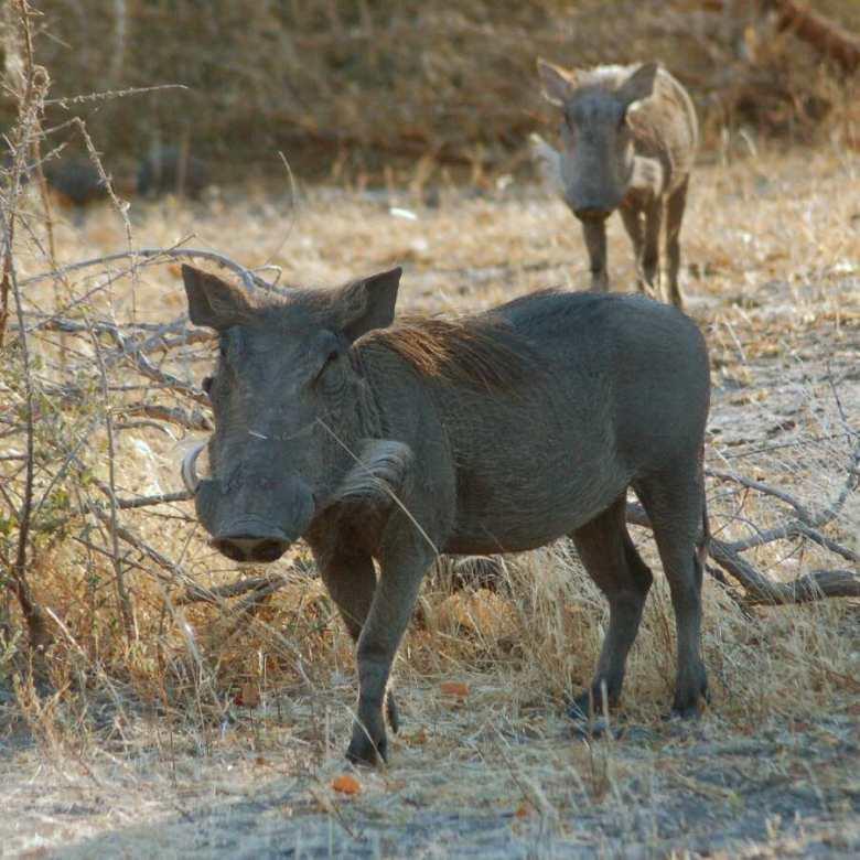 Moremi Botswana - ExplorationVacation - 09-21_10-13-34 warthogs