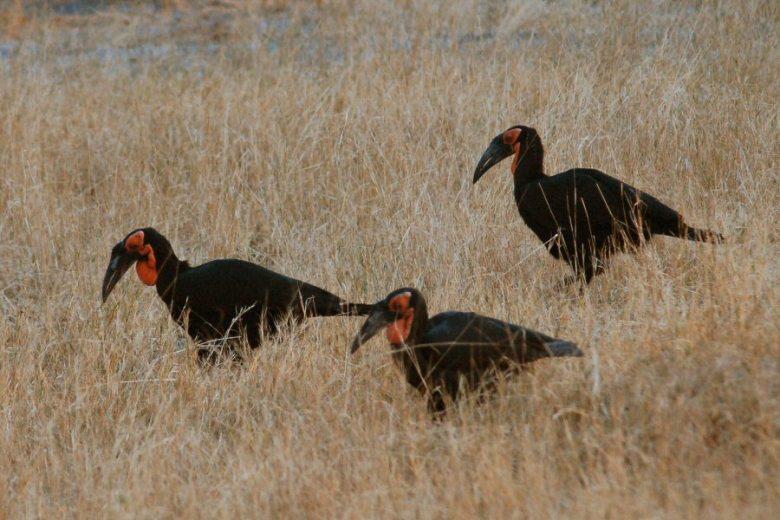 Moremi Botswana - ExplorationVacation - 09-21_10-44-33 black cranes