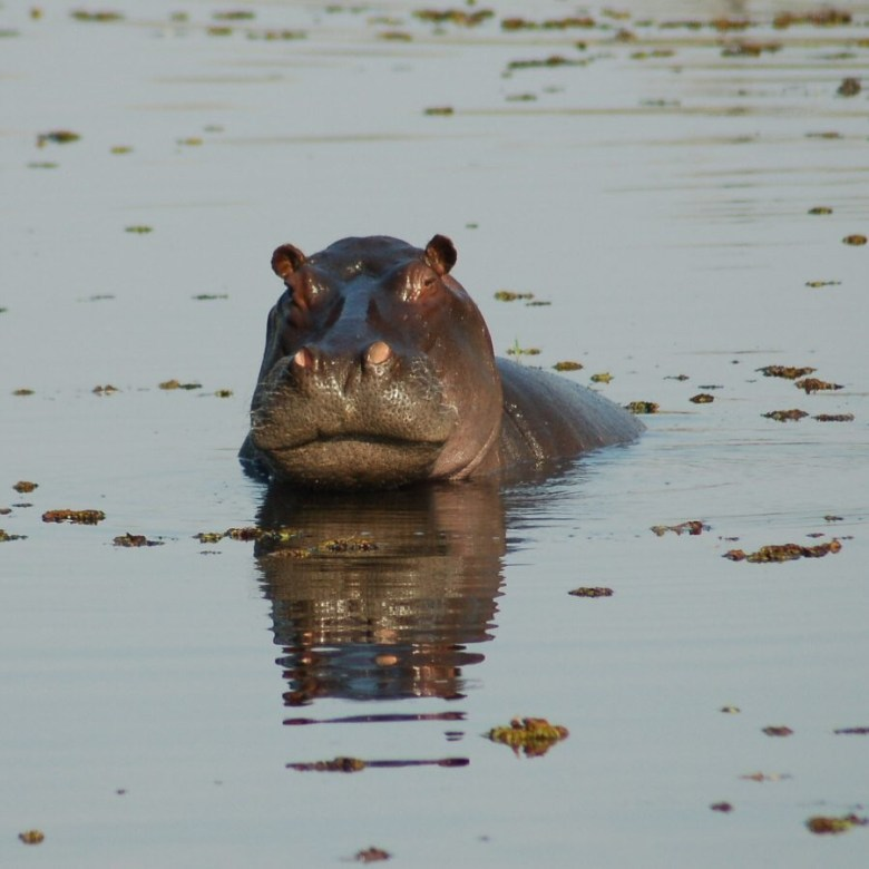 Moremi Botswana - ExplorationVacation - 2005-09-21_01-15-31 hippo