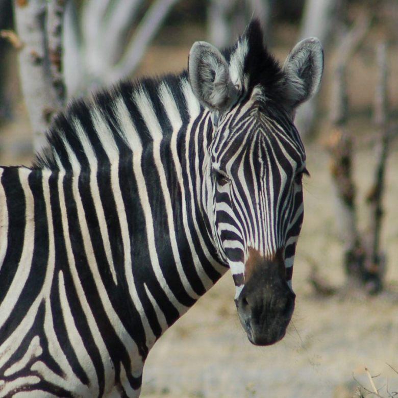Moremi Botswana - ExplorationVacation - 2005-09-21_02-29-08 zebra portrait