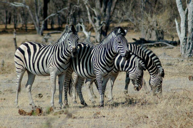 Moremi Botswana - ExplorationVacation - 2005-09-21_02-31-08 zebras
