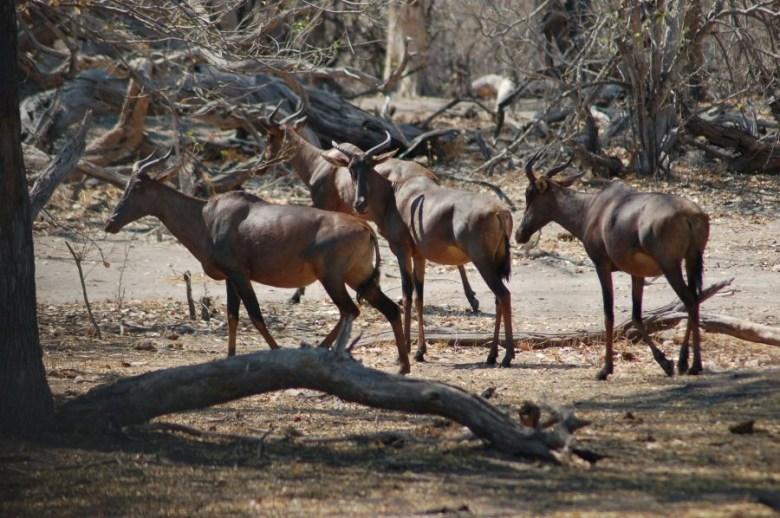 Moremi Botswana - ExplorationVacation - 2005-09-21_03-33-18 tsessebe