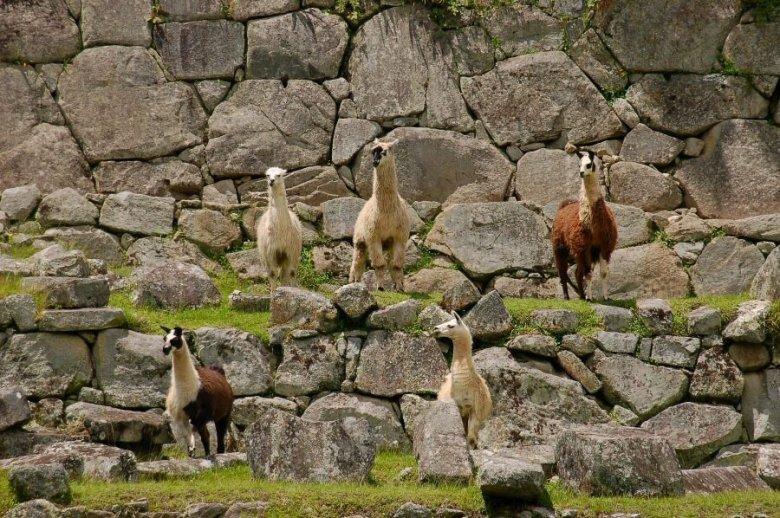 Machu Picchu Peru - ExplorationVacation 2005-12-31_11_10_03%20lamas