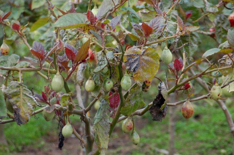 Ecuador -ExplorationVacation 2006-01-03_13_04_02 tree tomato