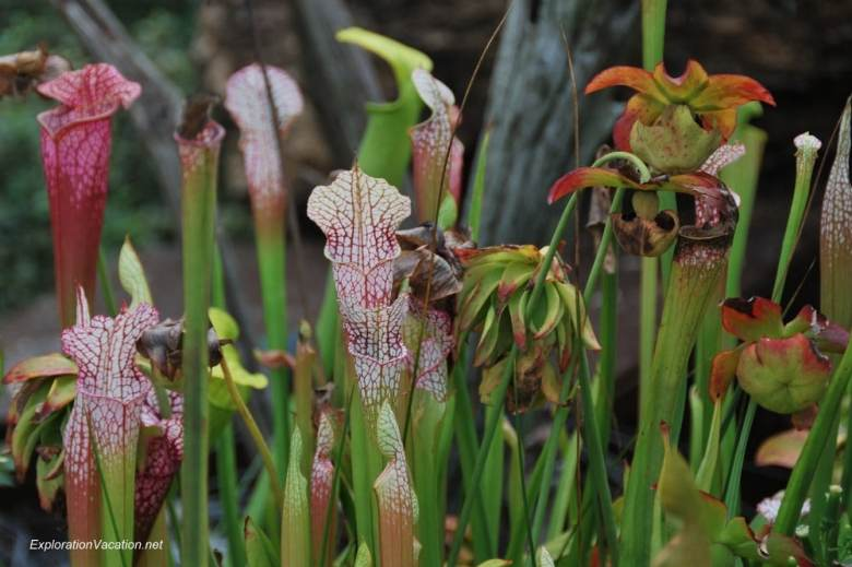 FRI Floral 20130920-DSC_2840 pitcher plants at Franklin Park Conservatory in Columbus Ohio