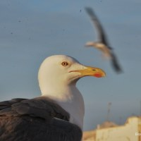 seagulls in Essaouira Morocco
