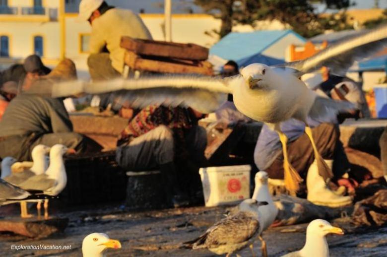 Essaouira seagulls 8 2013 DSC_8647