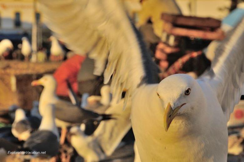 Essaouira seagulls 9 DSC_8649