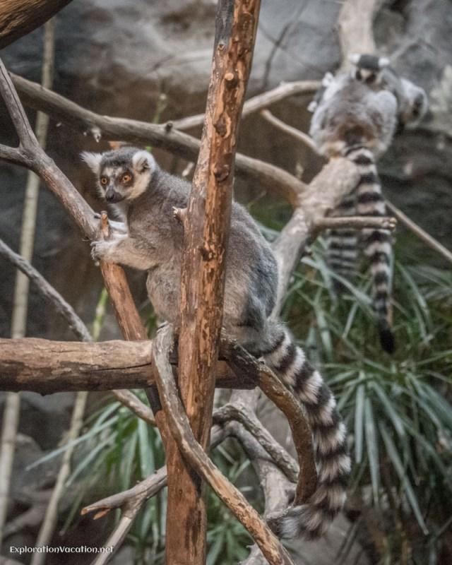 lemurs at the Minnesota Zoo - ExplorationVacation.net