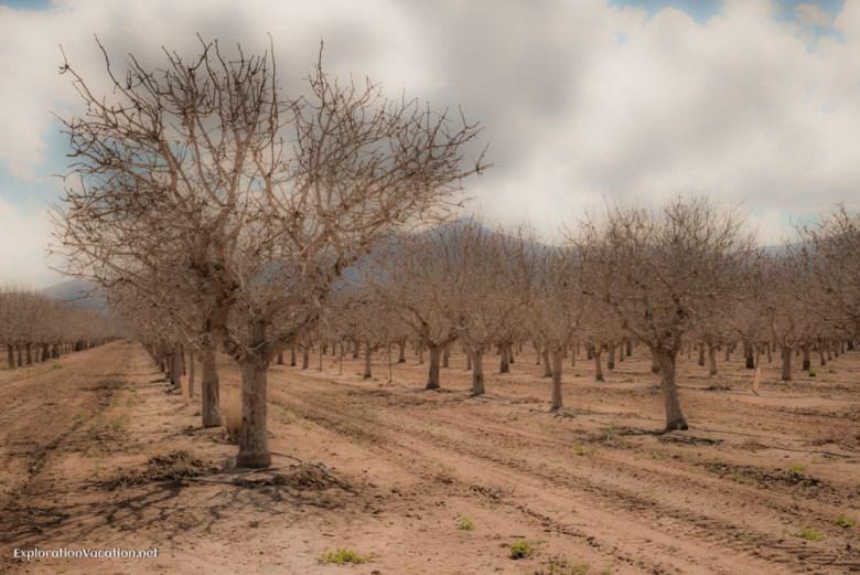 Orchards or groves near Bowie Arizona - ExplorationVacation.net