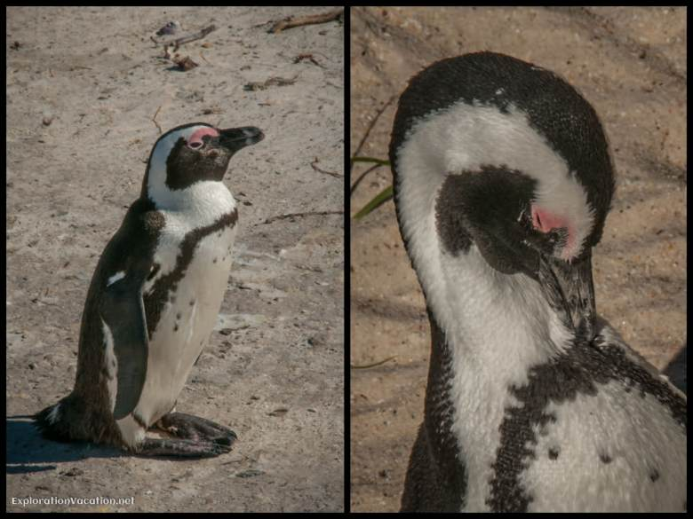 African Penguins in Cape Town South Africa - ExplorationVacation.net