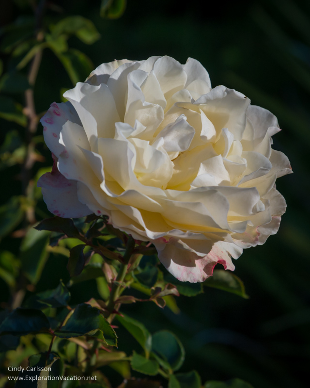 rose Mission San Luis Obispo California -ExplorationVacation.net