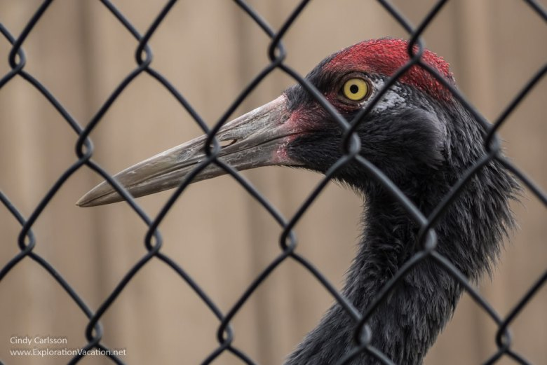International Crane Foundation black necked crane - www.ExplorationVacation.net