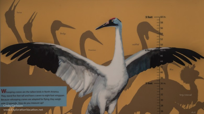 Whooping crane info International Crane Foundation - www.ExplorationVacation.net