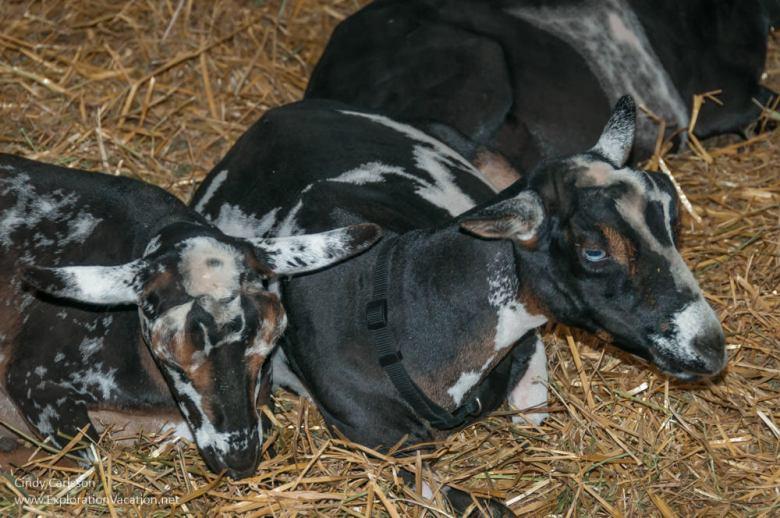 Minnesota State Fair favorites - goats - www.ExplorationVacation.net