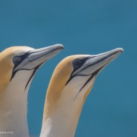 Australasian gannets Cape Kidnappers New Zealand - www.explorationvacation.net
