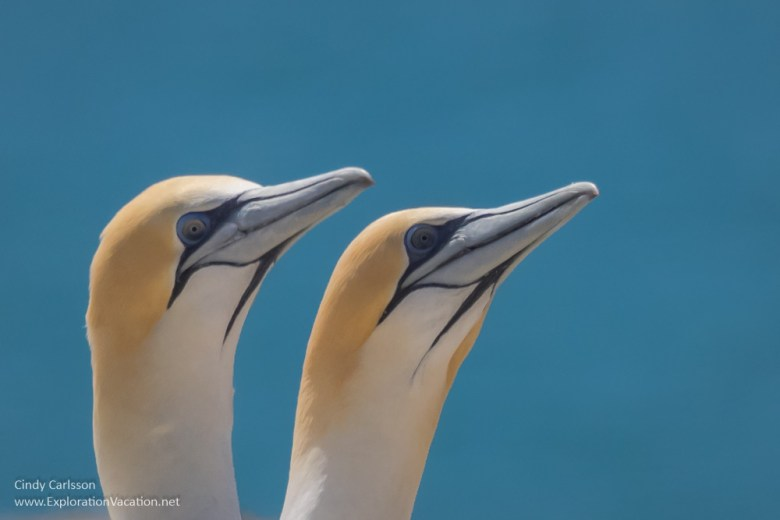Australasian gannets Cape Kidnappers New Zealand - www.explorationvacation.net