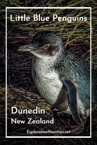 Watch little blue penguins head back to their nests on New Zealand's Otago Peninsula - ExplorationVacation #WorldPenguinDay #NewZealand