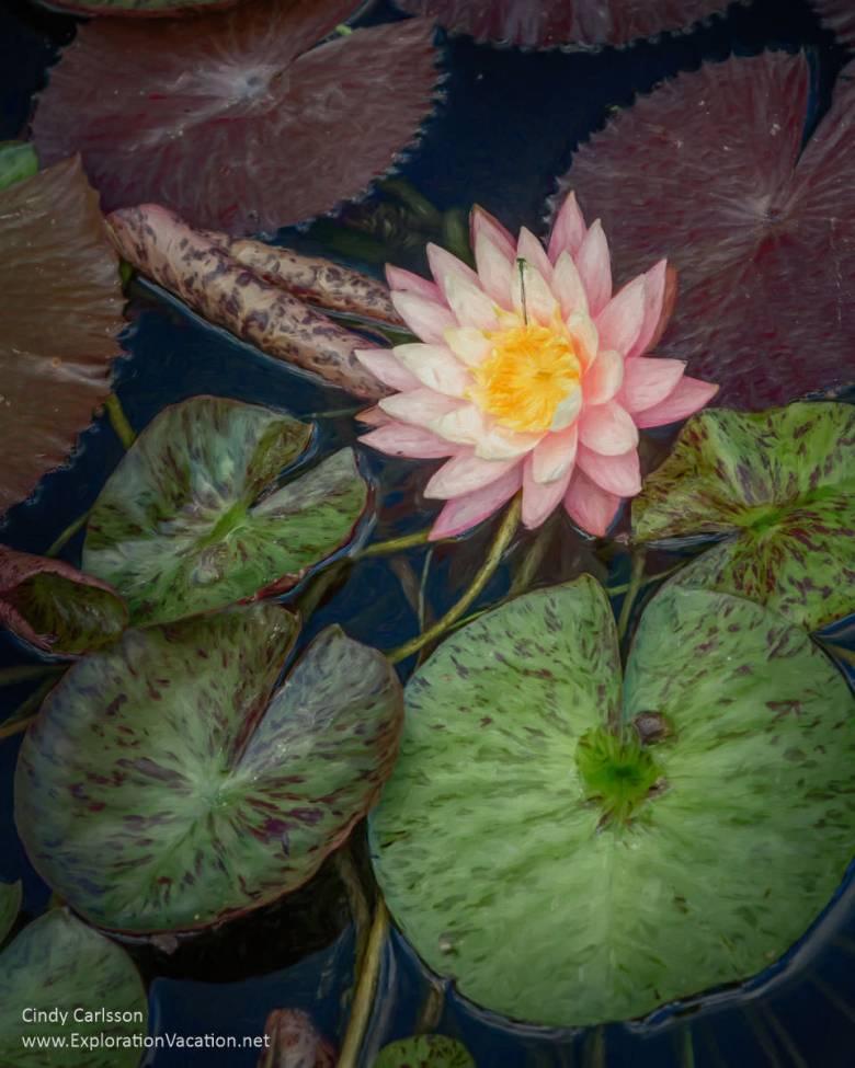 Waterlily at the Chicago Botanic Garden - ExplorationVacation.net
