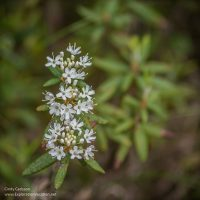 Labrador tea in bloom in Minnesota's Big Bog State Recreation Area - ExplorationVacation.net