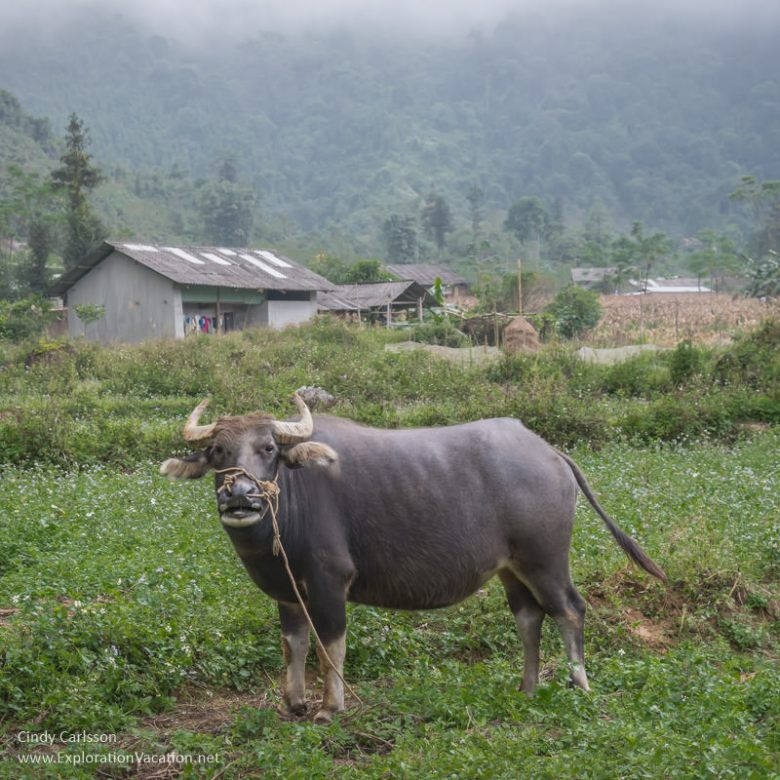 Water buffalo in northern #Vietnam - ExplorationVacation #asia