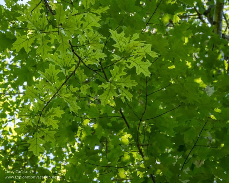 Oak leaves overhead