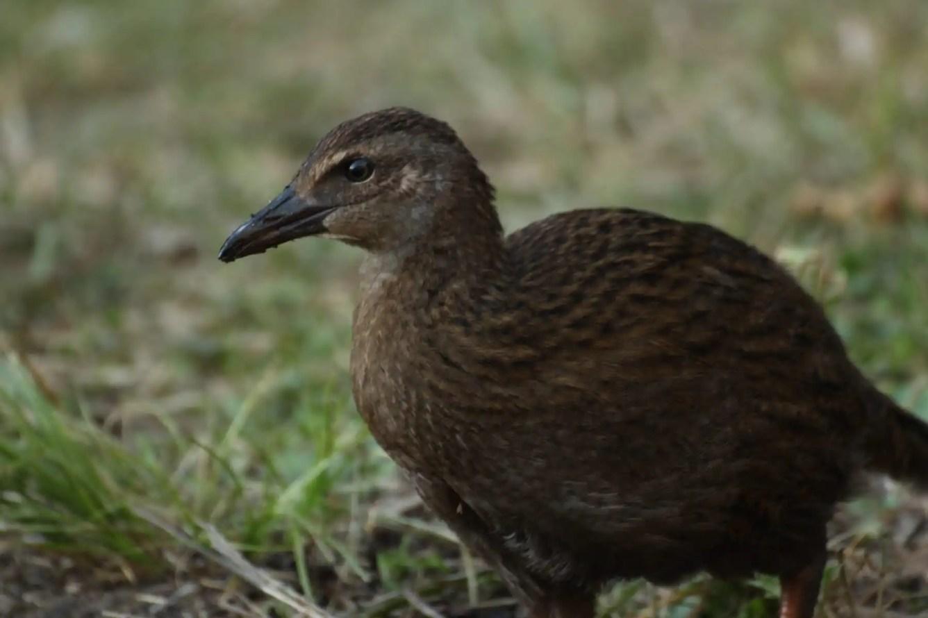 Weka Te Araroa Fernwanderung Neuseeland