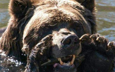 Yellowstone National Park Bears