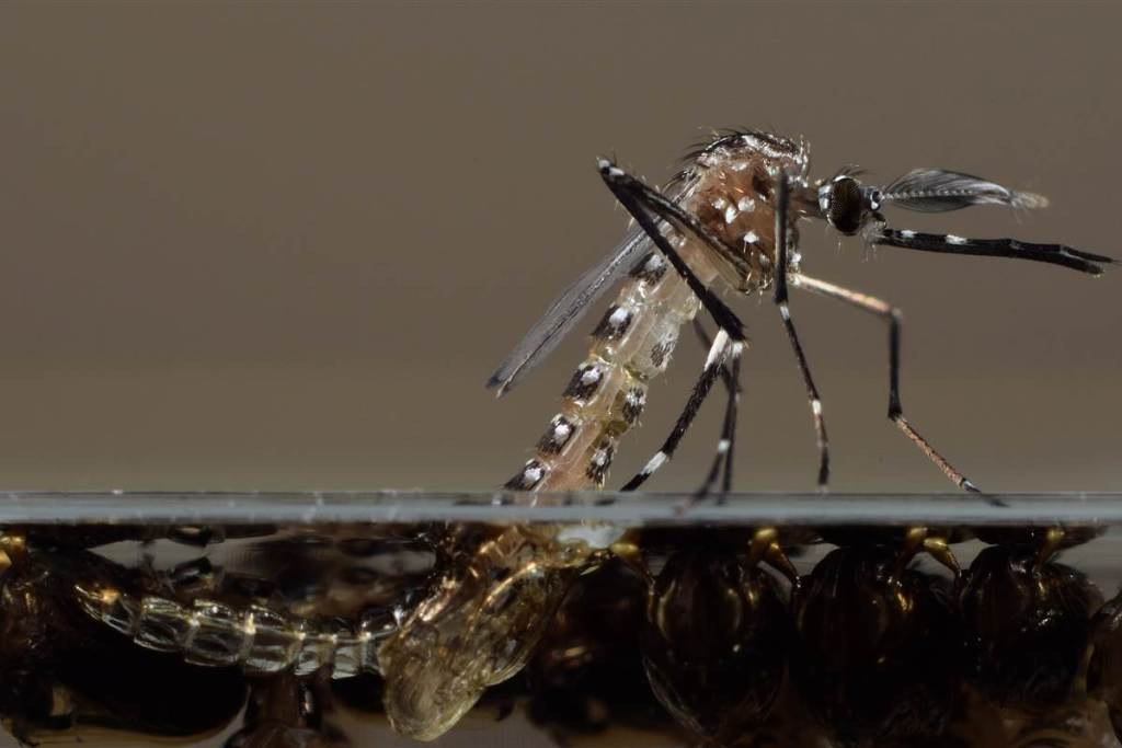 Антималярийный комар, фото фотография насекомые