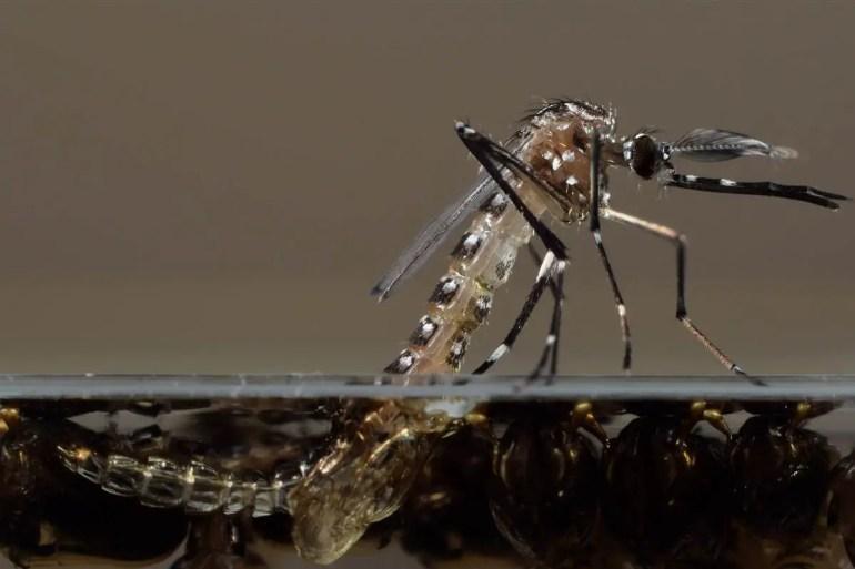 160119-oxitec-gmo-mosquito-pupae-1115a_d440031931cd9bc02c69ceccd08d984c-nbcnews-fp-1200-800