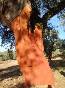 Alcornoque cork oak iberian ham Seville