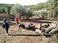 Feeding Iberian pigs iberian ham Seville