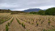Vineyard in la rioja tempranillo