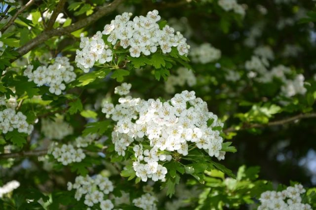 buy natural medicinal Hawthorn for the heart