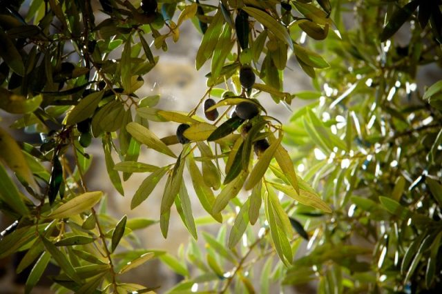 Personal care natural product cosmetic with olive tree leaves