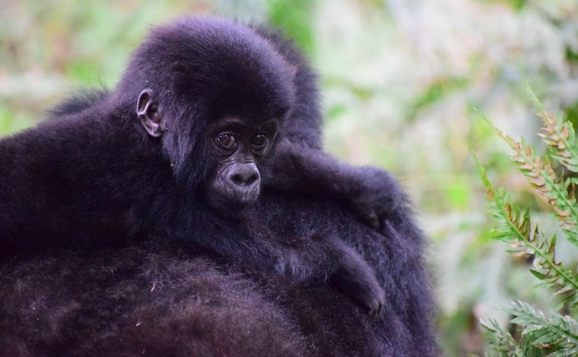 UGANDA – The Pearl of Africa – Gorillas Birds, Butterflies, Trees
